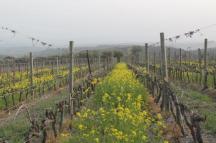 vigne san felice, colza, fave e diserbante (17)