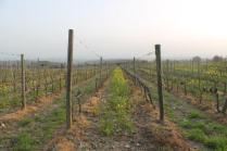 vigne san felice, colza, fave e diserbante (18)