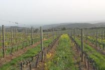 vigne san felice, colza, fave e diserbante (19)