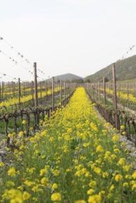 vigne san felice, colza, fave e diserbante (2)