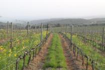 vigne san felice, colza, fave e diserbante (20)