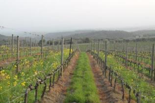 vigne san felice, colza, fave e diserbante (21)