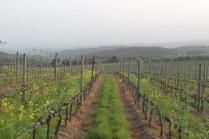 vigne san felice, colza, fave e diserbante (22)