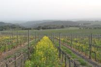 vigne san felice, colza, fave e diserbante (24)