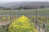 vigne san felice, colza, fave e diserbante (25)