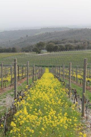 vigne san felice, colza, fave e diserbante (27)