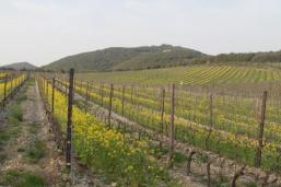 vigne san felice, colza, fave e diserbante (3)