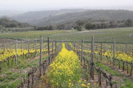 vigne san felice, colza, fave e diserbante (30)