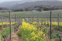 vigne san felice, colza, fave e diserbante (32)