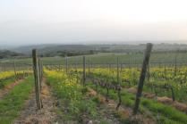 vigne san felice, colza, fave e diserbante (33)