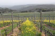 vigne san felice, colza, fave e diserbante (34)