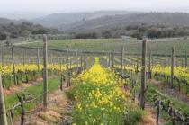 vigne san felice, colza, fave e diserbante (35)