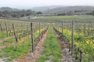 vigne san felice, colza, fave e diserbante (36)