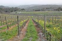 vigne san felice, colza, fave e diserbante (37)
