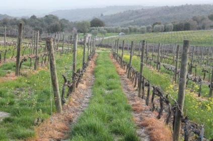 vigne san felice, colza, fave e diserbante (38)