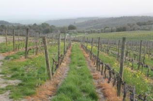 vigne san felice, colza, fave e diserbante (39)
