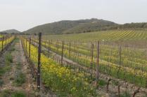 vigne san felice, colza, fave e diserbante (4)