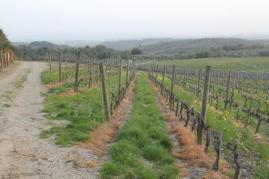 vigne san felice, colza, fave e diserbante (40)