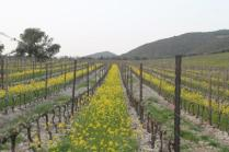 vigne san felice, colza, fave e diserbante (42)