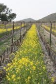 vigne san felice, colza, fave e diserbante (6)
