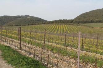 vigne san felice, colza, fave e diserbante (7)