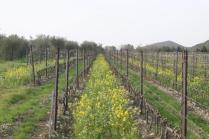 vigne san felice, colza, fave e diserbante (8)