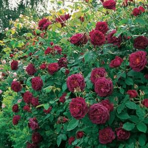 chianti foto da david austin roses