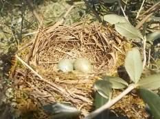 il nido di uova turchesi (3)