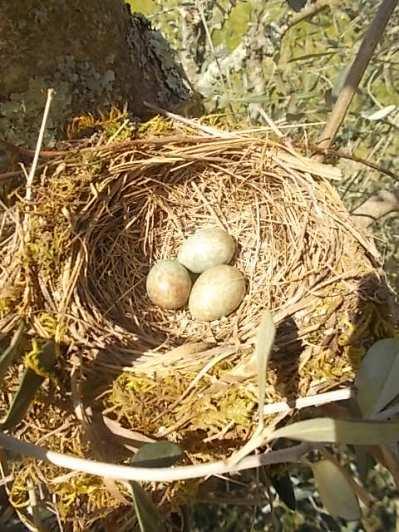 il nido di uova turchesi (5)
