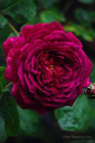 la rosa chianti foto da pinterest maurizio