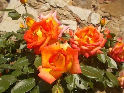 rosa arancio e giallo rietine (1)