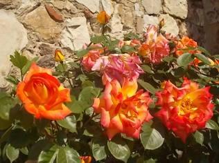 rosa arancio e giallo rietine (11)