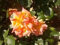 rosa arancio e giallo rietine (2)