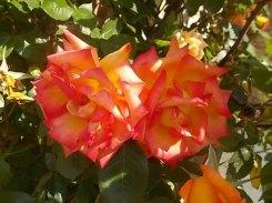rosa arancio e giallo rietine (4)