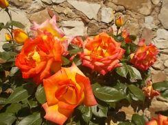 rosa arancio e giallo rietine (5)