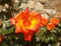 rosa arancio e giallo rietine (6)