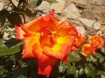 rosa arancio e giallo rietine (7)