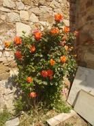 rosa arancio e giallo rietine (8)