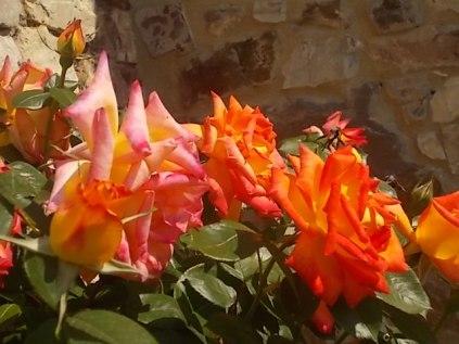 rosa arancio e giallo rietine (9)