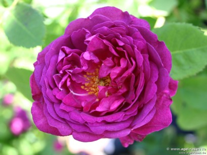 rosa chianti foto da agel rosen