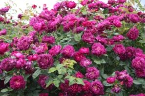 rosa chianti foto da dal lyngar