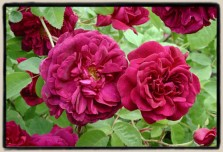 rose chianti foto da paul barden roses