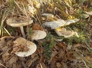 vertine-funghi-gentili-1