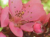fiore-di-pesco