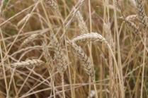 grano, berardenga e ulivi (3)