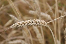 grano, berardenga e ulivi (4)