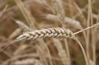 grano, berardenga e ulivi (5)