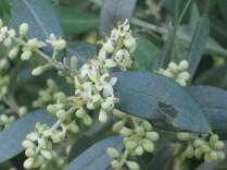 olivo-in-fiore-4