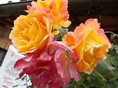 rose di vertine (1)