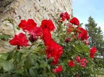 rose di vertine (15)